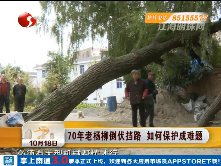 70年老杨柳倒伏挡路 如何保护成难题