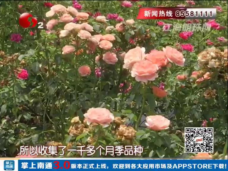 如东:华侨子女扎根创业 50亩月季花园带来