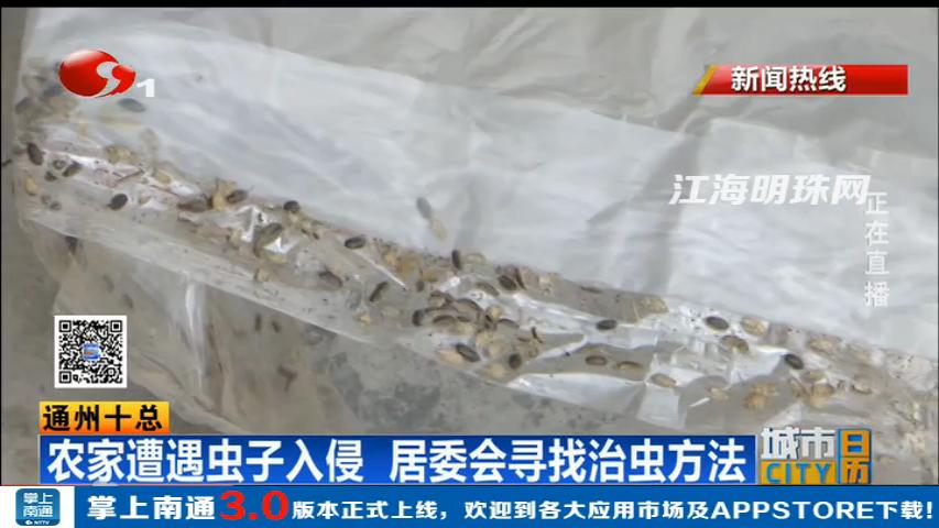 通州十总:农家遭遇虫子入侵 居委会寻找治虫方法