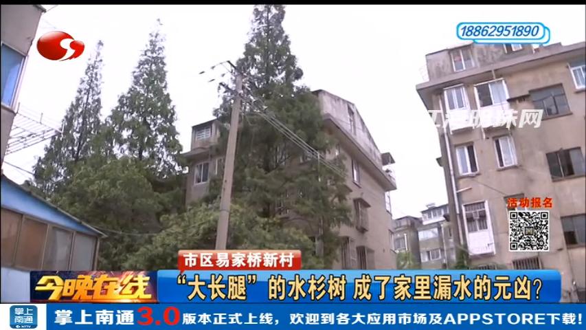 """市区易家桥新村:""""大长腿""""的水杉树 成了家里漏水的元凶?"""