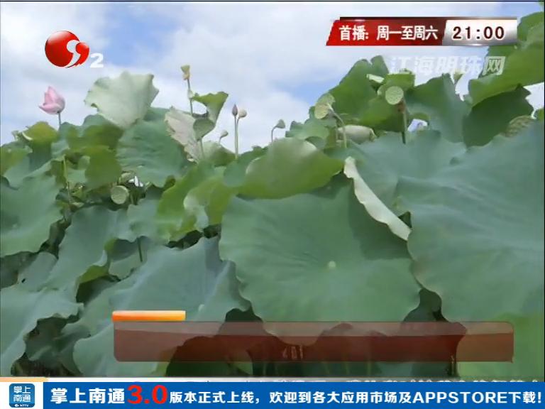 如东岔河:引种台湾水果莲 两百亩水面既美又值钱