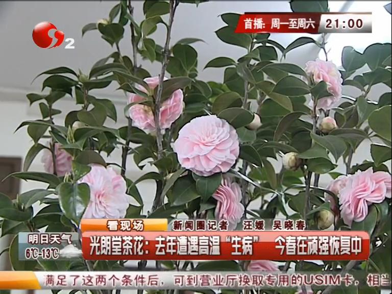 南通光朗堂茶花去年遭遇高温