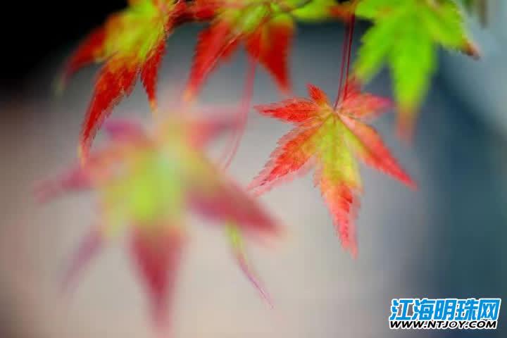 """初冬时节枫叶渐红 南通盆栽""""枫""""景诱人"""