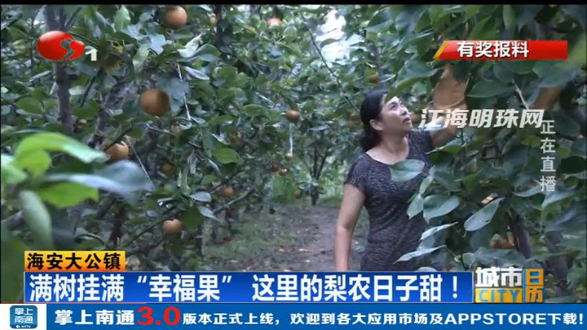 """海安大公镇:满树挂满""""幸福果"""" 这里的梨农日子甜!"""