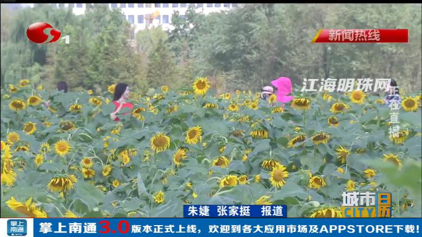 南通港闸区金秋赏花正当时 400亩向日葵如约盛开