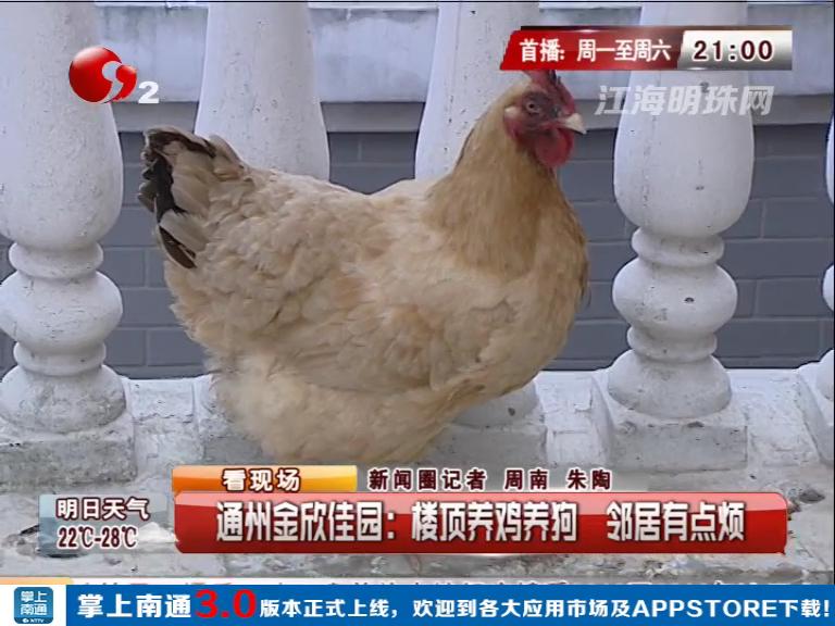 通州金欣佳园:楼顶养鸡养狗  邻居有点烦