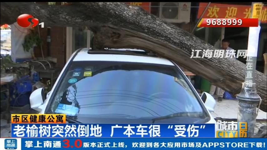 """市区健康公寓:老榆树突然倒地  广本车很""""受伤"""""""